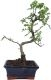 Pfefferbaum, ca. 7 J. (30 cm) - www.bonsai.de