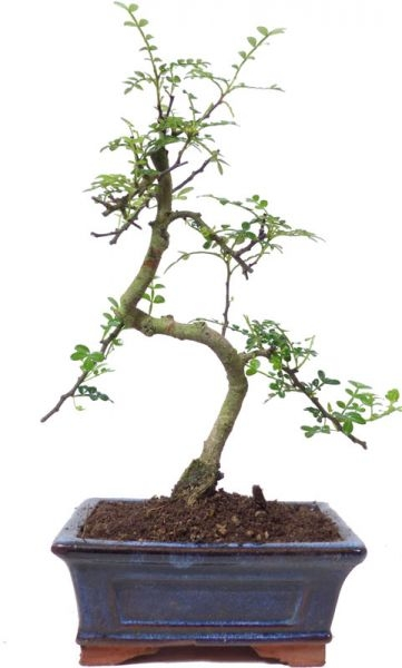Pfefferbaum, ca. 7 J. (28 cm) - www.bonsai.de