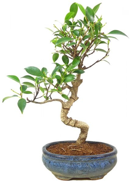 Indian Laurel, ca. 10 y. (31 cm) - www.bonsai.de