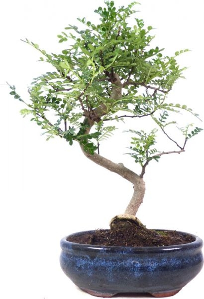 Pfefferbaum, ca. 9 J. (33 cm) - www.bonsai.de