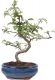 Pfefferbaum, ca. 9 J. (31 cm) - www.bonsai.de