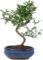 Pepperboom, ca. 9 jaar (28 cm) - www.bonsai.de