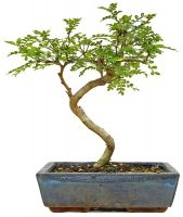Pepperboom, ca. 9 jaar (31 cm) - www.bonsai.de