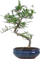 Pepperboom, ca. 9 jaar (33 cm) - www.bonsai.de