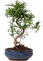 Pepperboom, ca. 9 jaar (32 cm) - www.bonsai.de