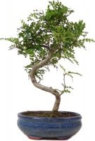 Pepperboom, ca. 9 jaar (30 cm) - www.bonsai.de