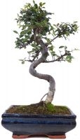 Orme de Chine, env. 9 ans (29 cm) - www.bonsai.de