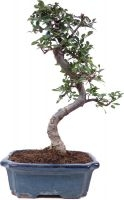 Orme de Chine, env. 9 ans (33 cm) - www.bonsai.de