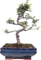 Orme de Chine, env. 9 ans (28 cm) - www.bonsai.de