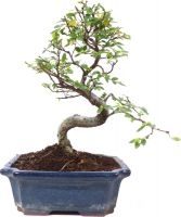 Orme de Chine, env. 9 ans (27 cm) - www.bonsai.de