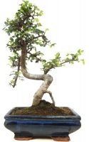 Orme de Chine, env. 9 ans (31 cm) - www.bonsai.de