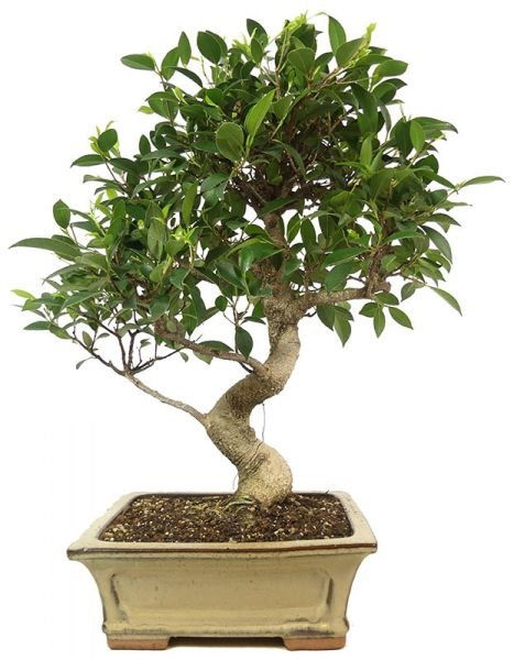 Indian Laurel, ca. 16 y. (52 cm) - www.bonsai.de