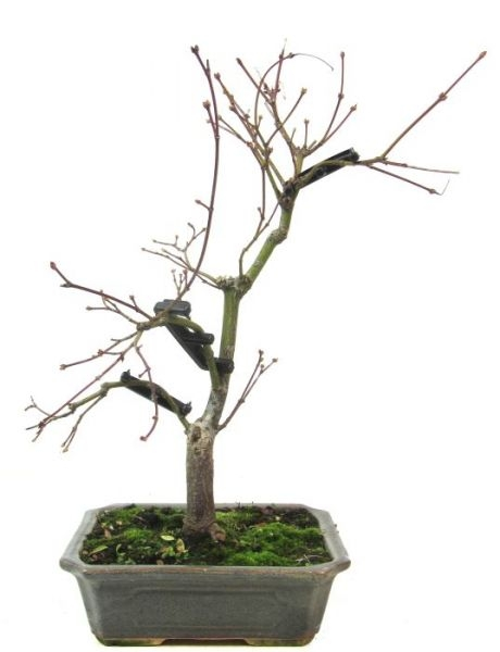 Magic-E - 15 Stk. - www.bonsai.de